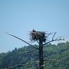 Osprey in its nest.