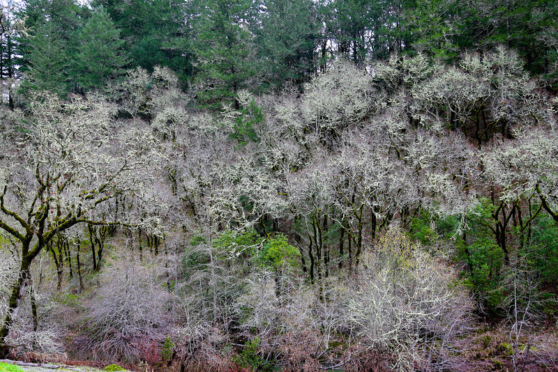 Trees in Winter along the Russian River, CA