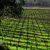Dormant Vines – Russian River, CA