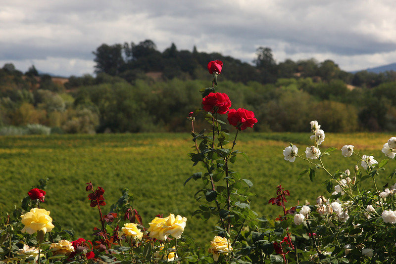 Flowers over a vinyard - Willamette Valley, Oregon