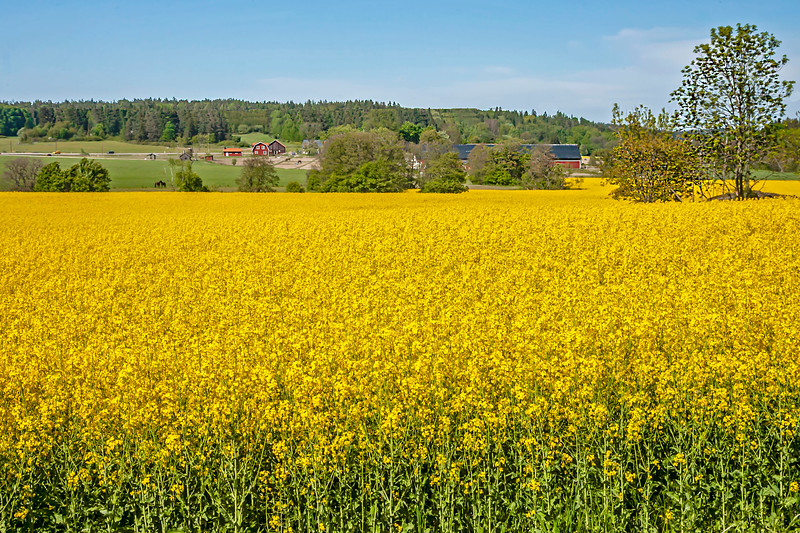 Rapeseed with the road 73 in background