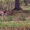 Dovhjort; Fallow deer