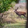 Kronhjort; Red deer