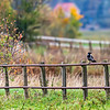 Gråkråka ; Hooded crow