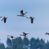 Alll of them - Taiga bean goose