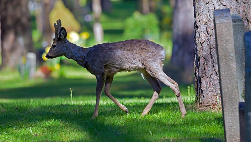 Deer at world Heritage Skogskyrkogården, Stockholm Sweden
