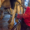 A hired hand hooks up the milking machine to one of the cows. The Hendrixsons run a New Zealand swing style milking parlor because it was more conducive to the rotational grazing style of dairying that they used to run. They switched to a confined system because they couldn't control the weather to optimize their production.They are currently milking their herd three times a day. Fran Ruchalski | Pharos-Tribune