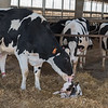 A cow cleans up her newborn calf. The baby is about a half hour old and already struggling to stand up. Fran Ruchalski | Pharos-Tribune