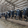 Some of the milking herd in one of the D & D Dairy free-stall barns munching on farm-grown silage. The Hendrixson's run a herd of 1000 Holstein cows in a confined dairy operation. Fran Ruchalski | Pharos-Tribune