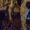 Dee Hendrixson checks the udder of one of the milking herd in the milking parlor. Fran Ruchalski | Pharos-Tribune