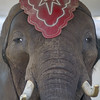 A close-up view of  Nosey the elephant in her enclosure at the Kewanna Fall Festival on Saturday afternoon. Fran Ruchalski | Pharos-Tribune