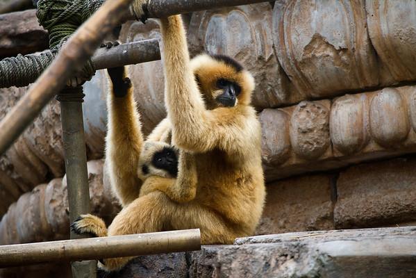 Female Gibbons holding her baby