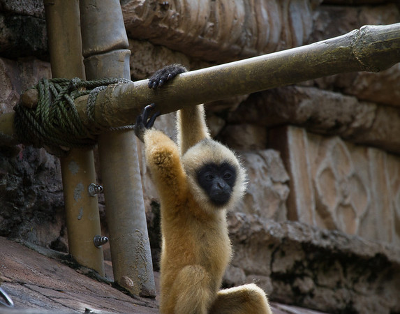Baby Gibbons