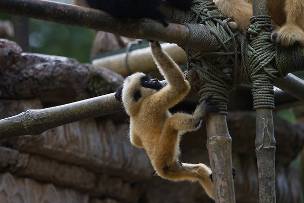 Male Gibbons baby. The male is born blonde; color changes with maturation.