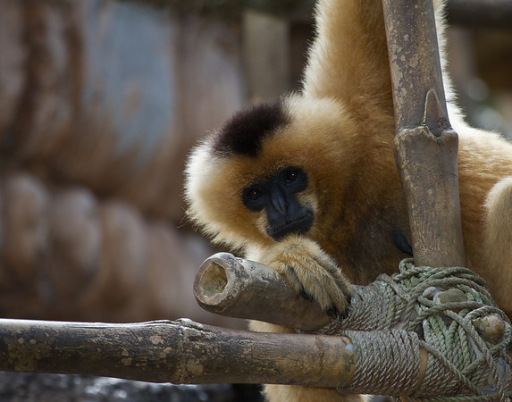 Female Gibbons is blonde