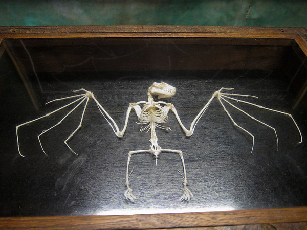 Malayan Flying Fox (bats); skeleton