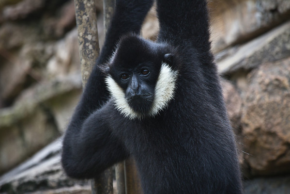 Male Gibbons