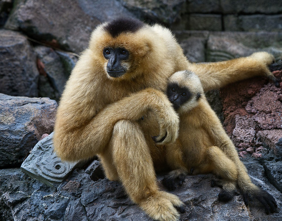Female Gibbons and baby