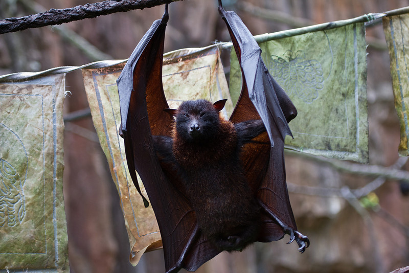 Malayan Flying Fox (bats)