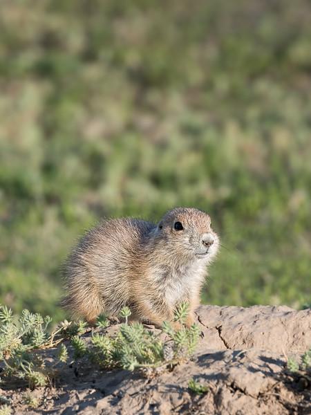 Prairie Dog Pup.