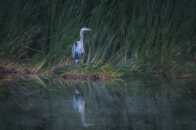 An early Morning with the Great Blue Heron.