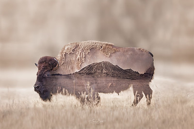 Bison Bear Butte Double Exposure.