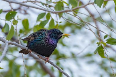 A Starling.