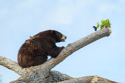 Magpie and a bear.