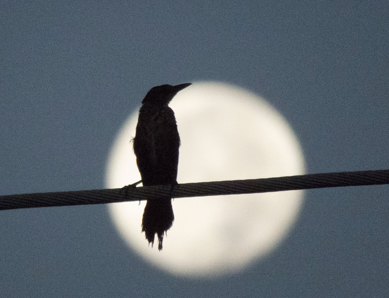 Bird Profile Against Moon