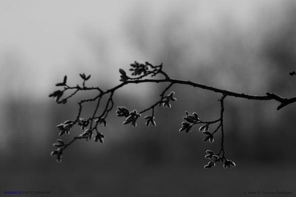 Silver poplar buds at winter.