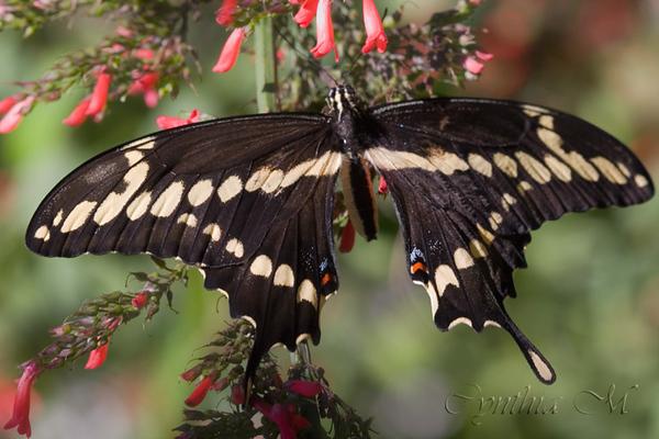 Thoas Swallowtail (Papilio Thoas )