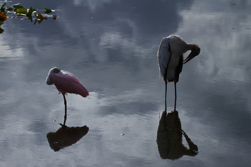 Roseate Spoonbill and Woodstork