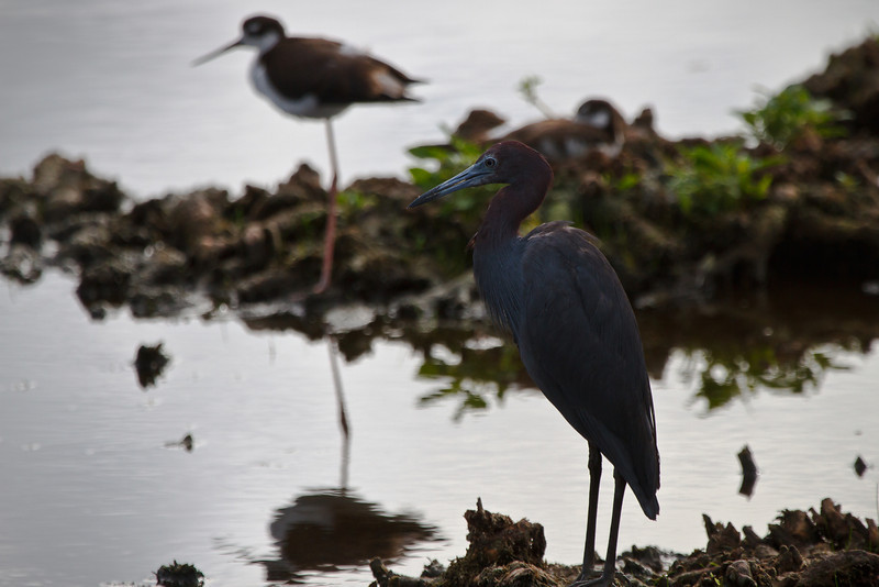 Glossy Ibis (?) and Black-necked Stilt