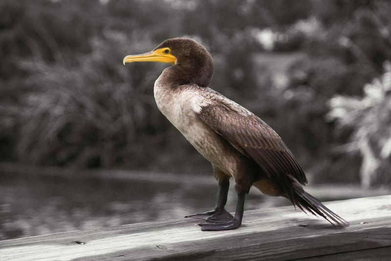 Cormorant; Wakodahatchee