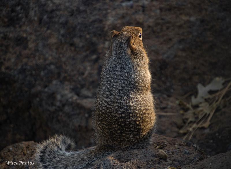 RockSquirrel(Photo #5894)