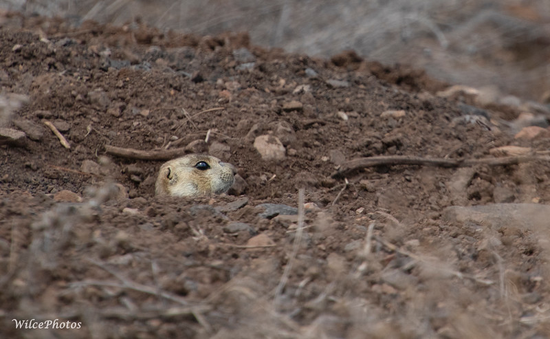 Gunnison Prairie Dog (Photo #0114)