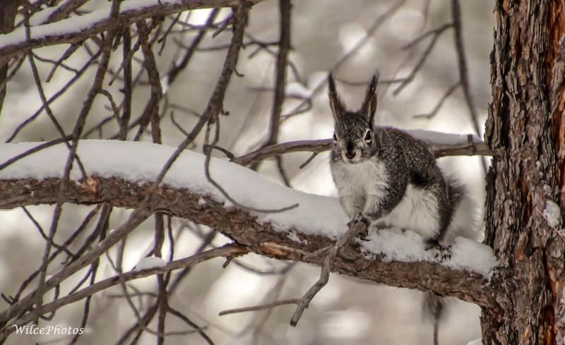 Abert's Squirrel On Branch (Photo #8902)