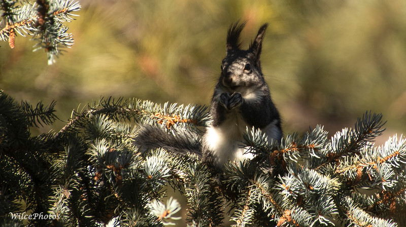 Abert's Squirrel on Spruce (Photo #5773)