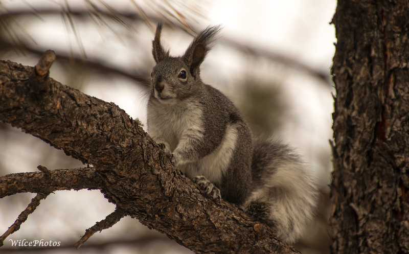 Abert's Squirrel (Photo #0089)