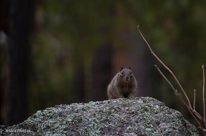 Rock Squirrel (Photo #2221)