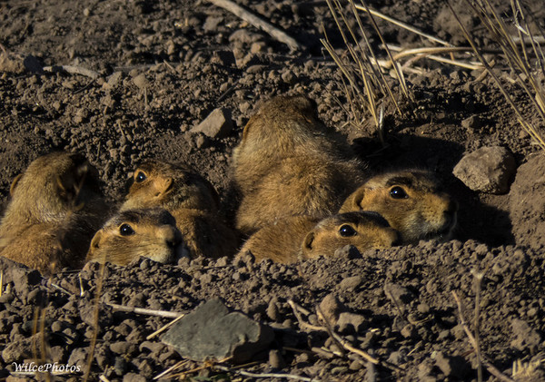 Prairie Dogs; (Photo #3767)