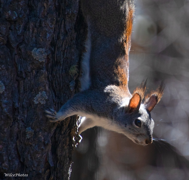 Abert's Squirrel On Ponderosa Pine (Photo #5269)