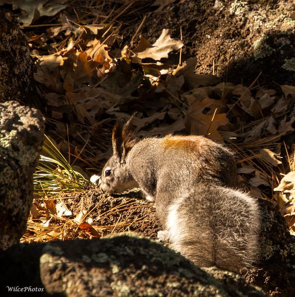 Abert's Squirrel (Photo #4926)
