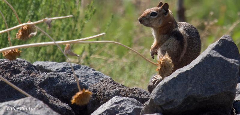 GroundSquirrel(Photo #P7169345)