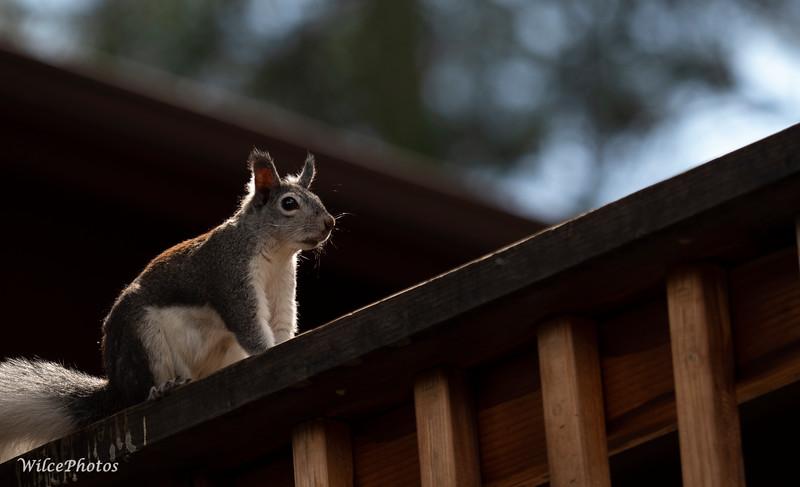 Abert'sSquirrel; Cheshire; 11Sept2021; (Photo #P9112054)