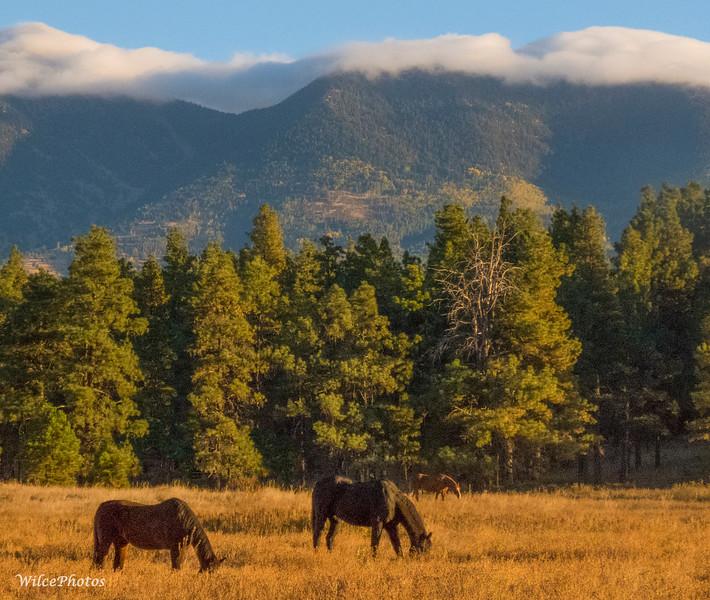 Three Horses Grazing