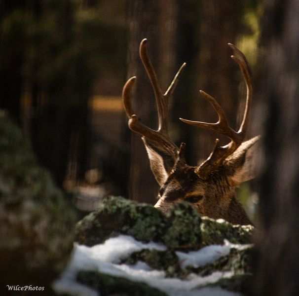Young Buck With Antlers
