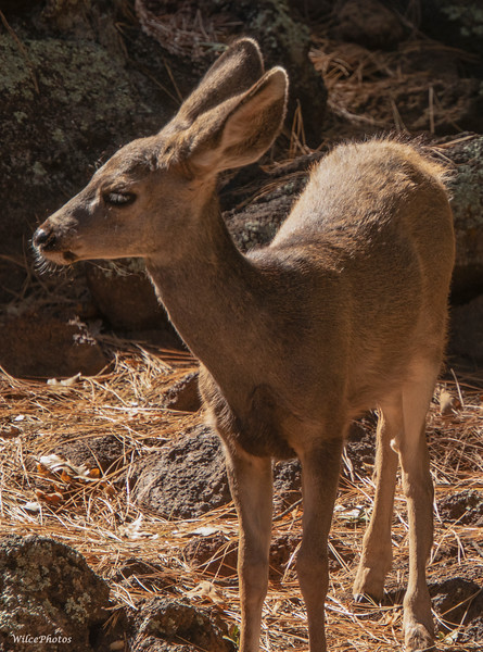 Fawn Among Boulders (Photo #0318)