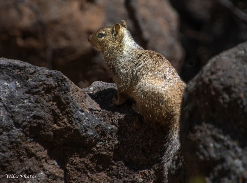 Rock Squirrel Among Boulders (Photo #4422)