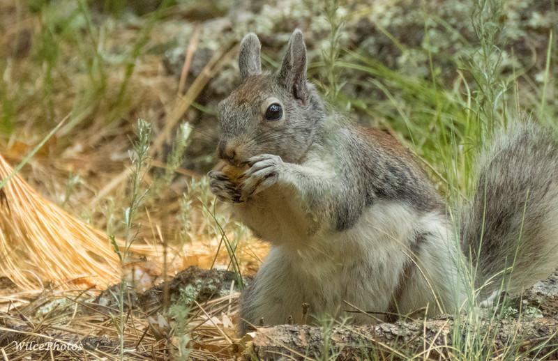 Abert's Squirrel (summer coat?)